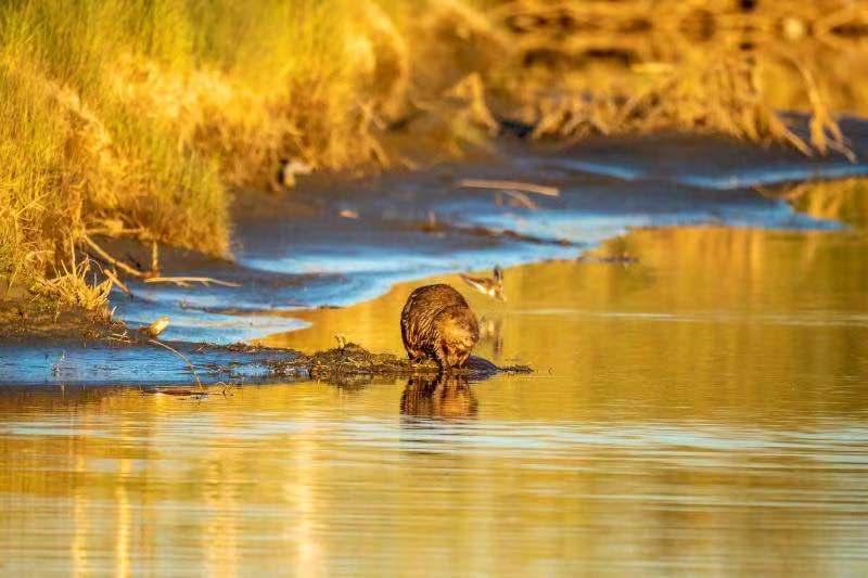 中华环境保护基金会携手泡泡玛特支持蒙新河狸保护项目